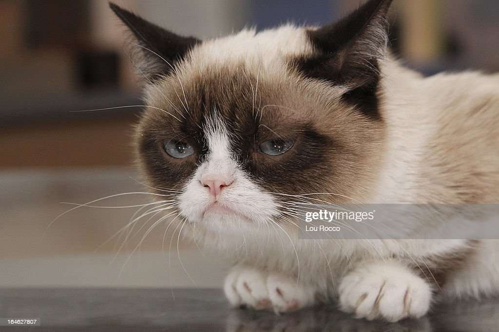 AMERICA - Internet sensation Grumpy Cat appears on 'Good Morning America,' 3/22/13, airing on the ABC Television Network. (Photo by Lou Rocco/ABC via Getty Images) GRUMPY CAT