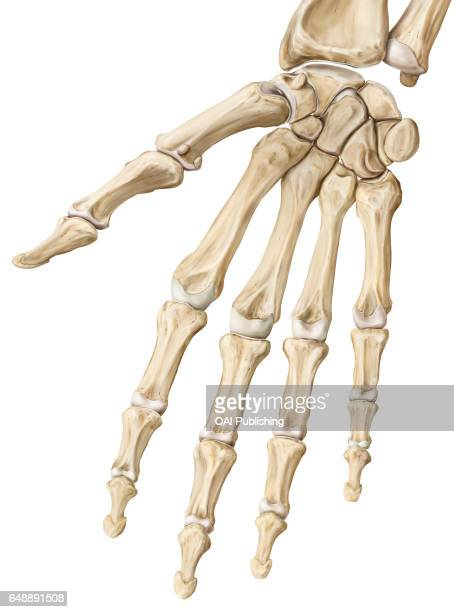 Interphalangeal joints The interphalangeal joints are synovial joints that link the phalanxes of the fingers or the toes together The great degree of...