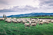 Introducing the sheeps
