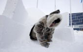 Inuit hunter Pitseolak Alainga crawls out of an igloo which was constructed outside the Nunavut Legislature in Iqaluit Canada February 6 2010 Moments...