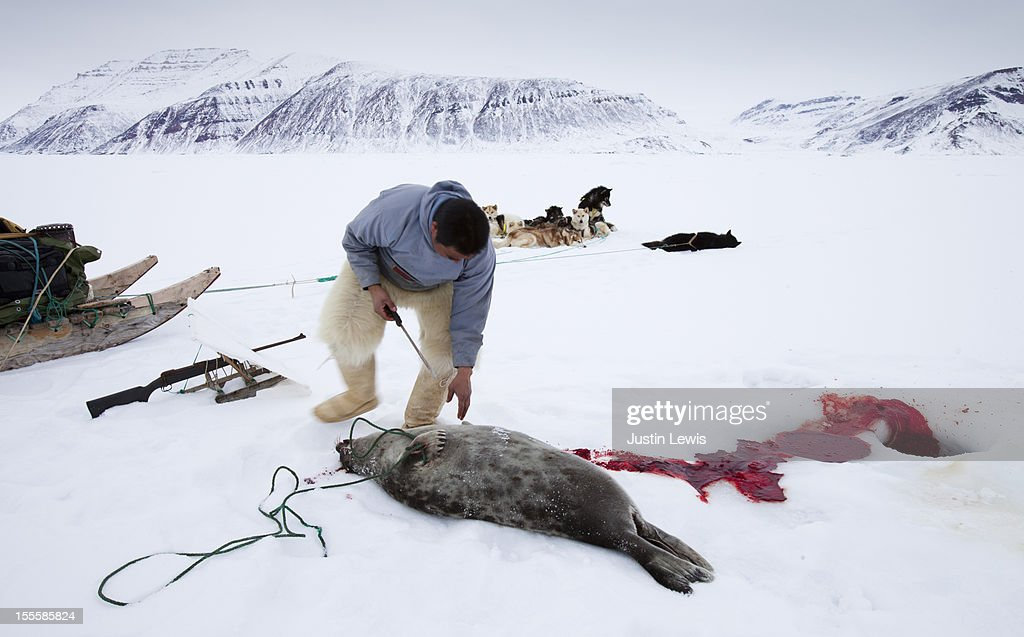 Inuit man cleans up seal after shooting on sea ice : Stock Photo