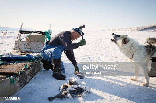 Inuit man feeding frozen fish to howling sled dog : Stock Photo