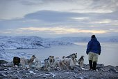 Inuit man ties up Greenland huskies and sled