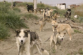 Inuit Sled dogs chained up on Shishmaref Alaska The Inuit's island is threatened by global warming induced erosion and their traditional lifestyle is...