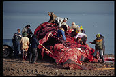 Inuit Villagers Butchering a Bowhead Whale
