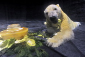 'Inuka' a male polar bear has his meal in its new enclosure at the Singapore Zoo on May 29 2013 The 22yearold polar bear the first one born in the...