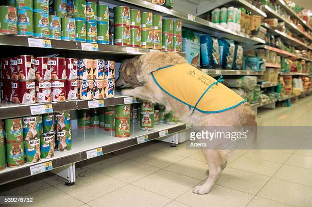 Invalid and physically disabled person in wheelchair shopping with Labrador mobility assistance dog in supermarket
