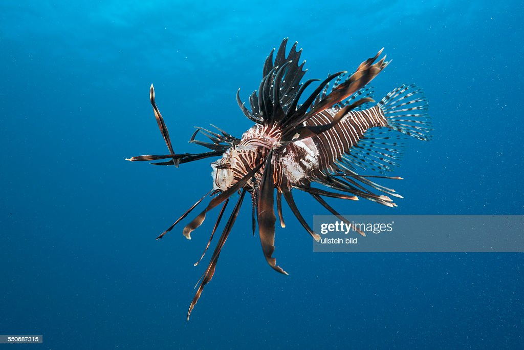 Invasive Lionfish speared by Diver Pterois volitans Caribbean Sea Dominica