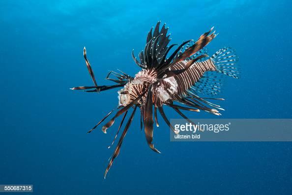 Invasive Lionfish speared by Diver Pterois volitans Caribbean Sea Dominica