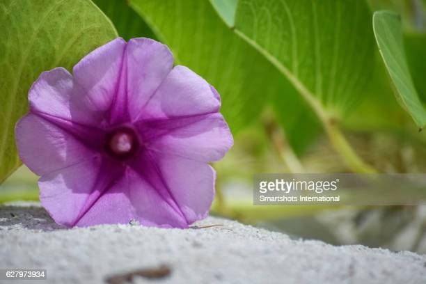 Ipomoea pes-caprae flower ('beach morning glory' or 'railroad vine') background on a Caribbean beach with white cayo sand, Cuba