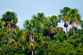 A stand of Moriche Palm trees tower above a lush tropical rainforest canopy.