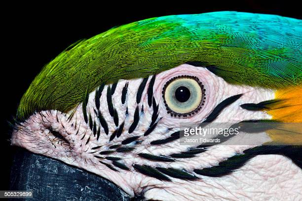 The iridescent turquoise crest and striped cheek feathers beneath the eye of a Blue-and-Yellow Macaw.