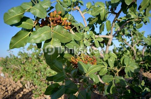 liran pistache plantations photo thinkstock. Black Bedroom Furniture Sets. Home Design Ideas