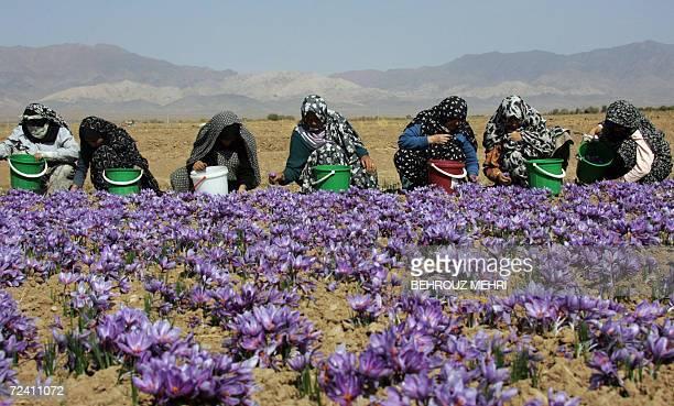 STORY 'IRANFARMECONOMYLUXURYSAFFRON' Iranian women wearing chadors pick saffron flowers on a farm in Shahn Abad village near the town of Torbate...