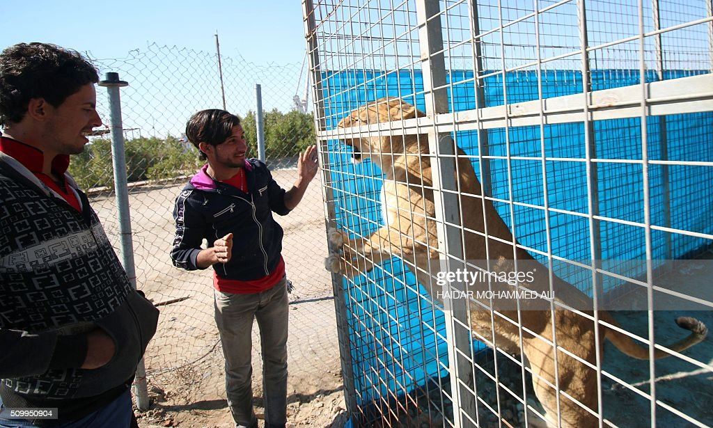 Iraqi men look at a lioness at a privately owned zoo in the Iraqi port city of Basra on February 13, 2016. / AFP / HAIDAR MOHAMMED ALI