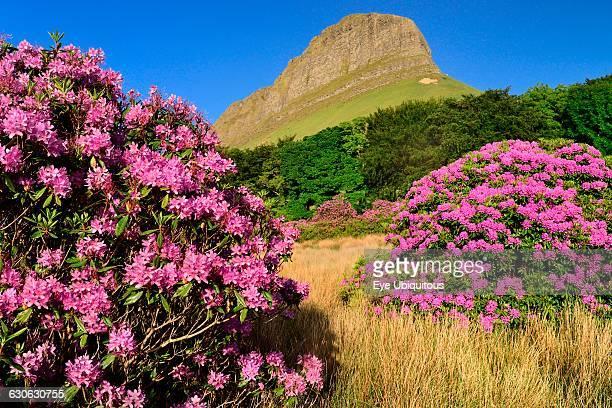 Ireland County Sligo View of Ben Bulben mountain from Gortarowey scenic walk with Rhododendrons in full bloom