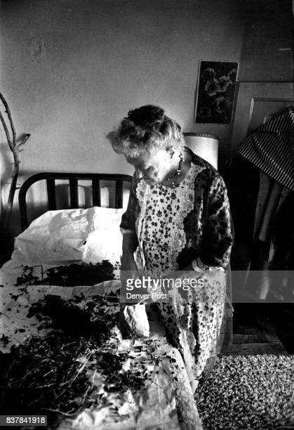 Irene Wheeler gathers dried alfalfa mint leaves from bed for tea Credit Denver Post