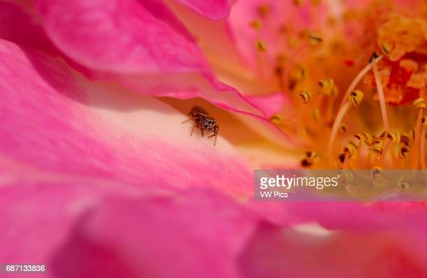 Iridescent Gold Jumping Spider on Rose Grapevine Spider Southern California