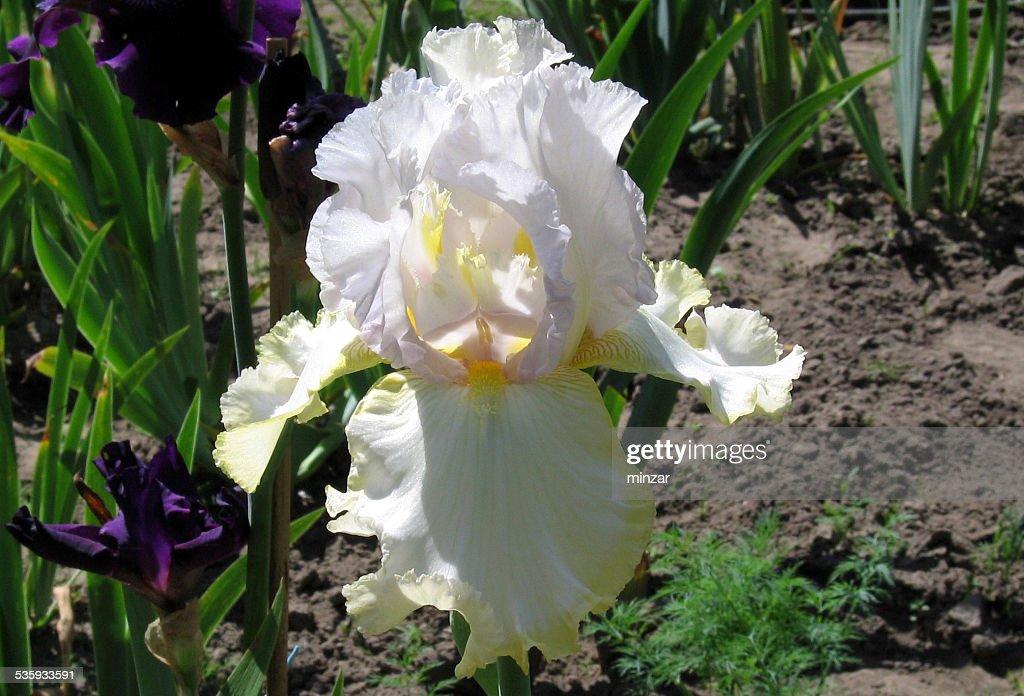 Iris Chartreuse Ruffles : Stock Photo