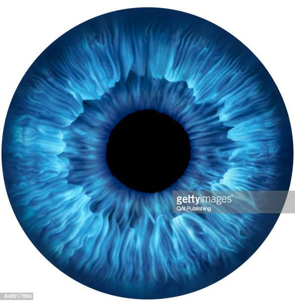 Iris Colored central portion of the eyeball composed of muscles whose dilation or contraction controls the opening of the pupil