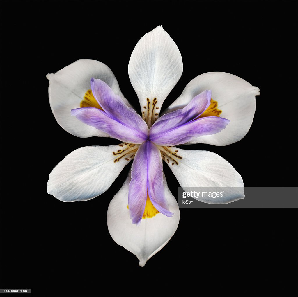 Iris flower against black background, close-up : Stock Photo