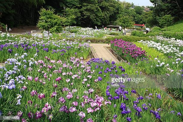 Iris Flower at Kameyama Park, Kameyama, Mie, Japan