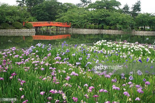 Iris Flower at Kyuka Park, Kuwana, Mie, Japan