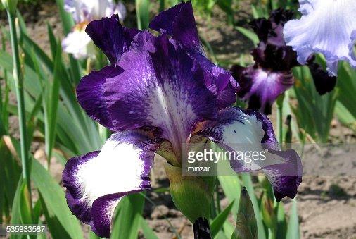 Iris Flowers - Going My Way : Stock Photo