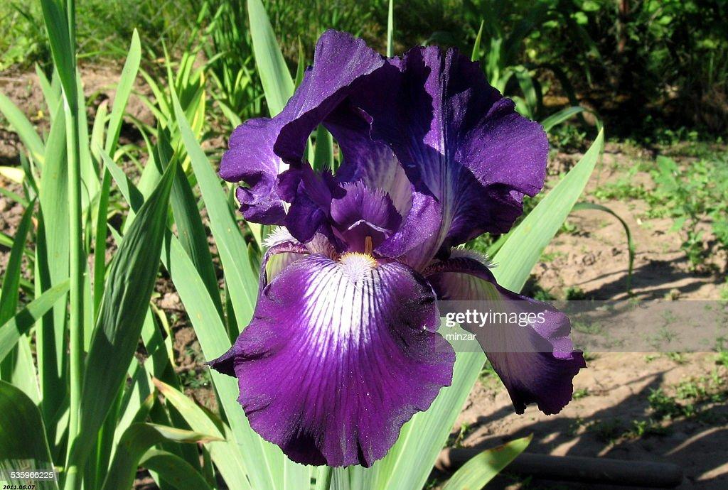 Iris Flowers - Winer Circle : Stock Photo