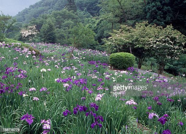 Iris Garden, Ryokami, Ogano, Saitama, Japan