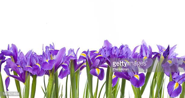Iris isolated on white