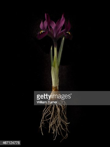 Iris plant on black background, showing bulb.