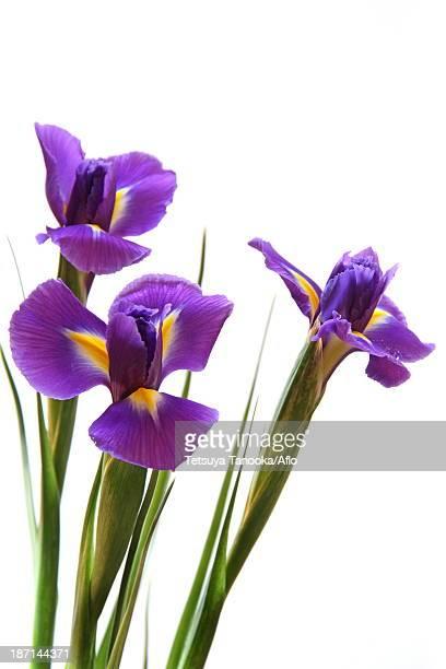 Iris Unguicularis