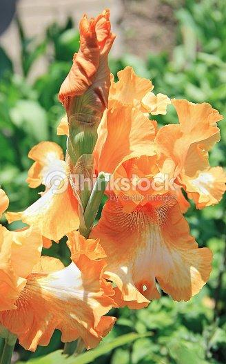 Iris yellow orange flower plant latin name iris outdoors stock photo iris yellow orange flower plant latin name iris outdoors mightylinksfo