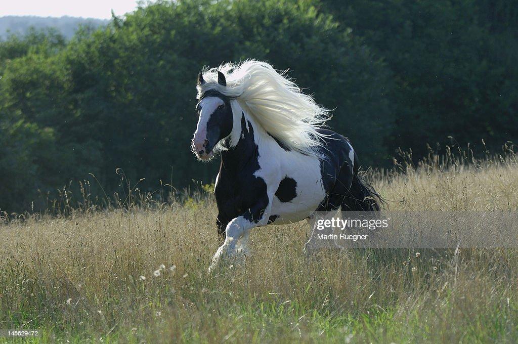 Irish gypsy pony running in a field