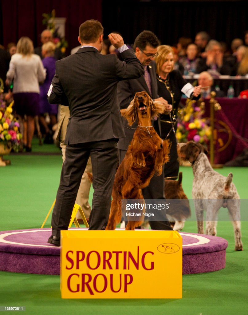 Irish Setter Grand Champion Shadagee Caught Red Handed stands with his handler Adam Bernardin, after winner of the Sporting Group at the Westminster Kennel Club Dog Show on February 14, 2012 in New York City. The Westminster Kennel Club Dog Show was first held in 1877, is the second-longest continuously held sporting event in the U.S., second only to the Kentucky Derby.