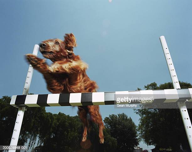 Irish Setter jumping over obstacle at dog show, low angle view
