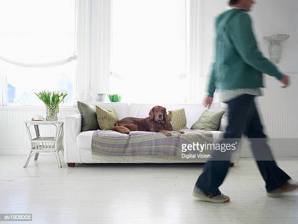 Irish Setter Lying on a Sofa in a Living Room, Low Section of a Man Walking