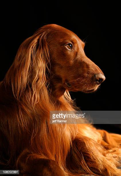 Setter irlandese Riley-bellissimo cane