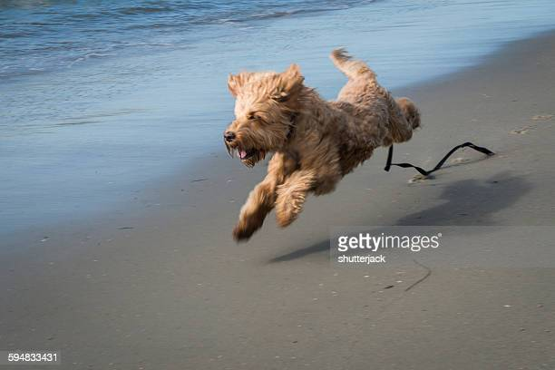 Irish Terrier Dog running along the beach