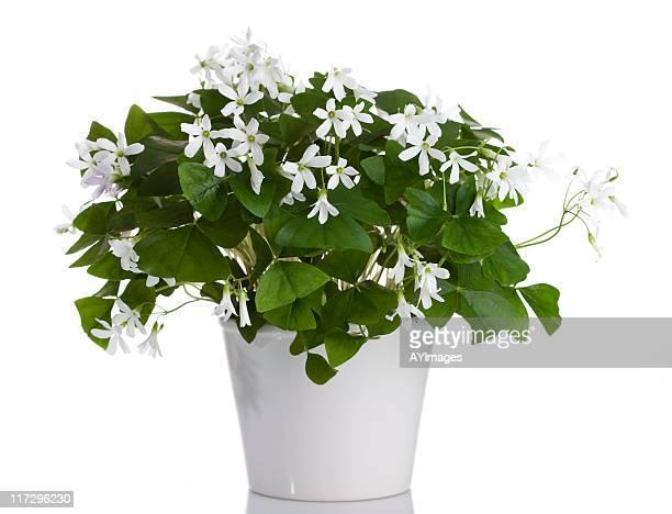 Irish White Shamrock (Oxalis regnellii)
