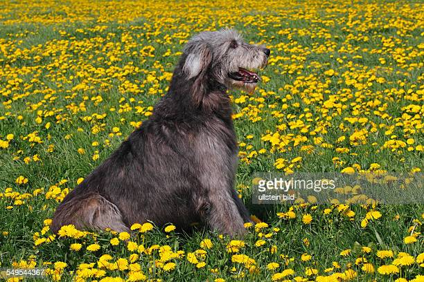 Irish Wolfhound dog male dog domestic dog