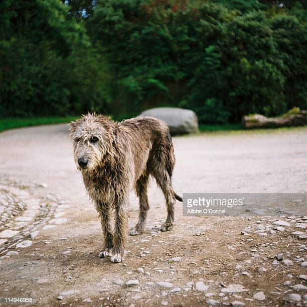 Irish wolfhound dog