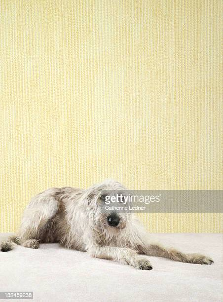 Irish Wolfhound (Canis lupus familiaris) laying