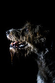 Irish Wolfhound, portrait