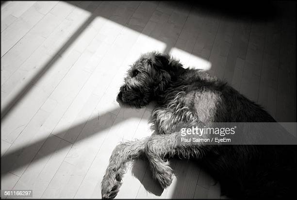 Irish Wolfhound Sleeping On Hardwood Floor In House