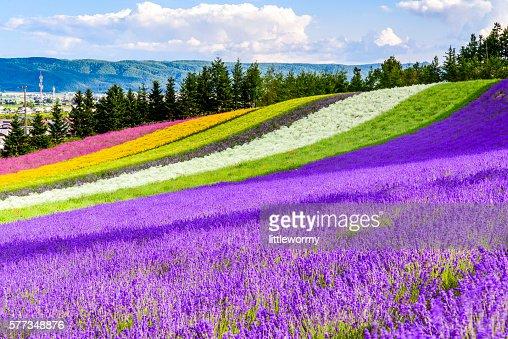 Irodori field, Tomita farm, Furano, Japan. : Stock Photo