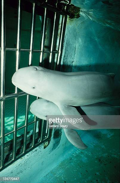 irrawaddy dolphins, orcaella brevirostris, jaya anca aquarium, indonesia