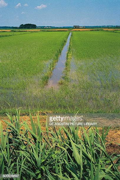 Irrigated fields in the area of Comacchio Valleys Po Delta Regional Park EmiliaRomagna Italy