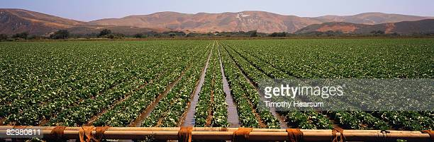 Irrigating rows of mature head lettuce